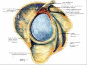 Type 1: Ser en usund men stadig intakt bicepstilhæftning, en rask gleniod (blå) og en hel labrum (rundt om Gleniod)