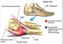 Anatomy and regional structures of the proximal fifth metatarsal.
