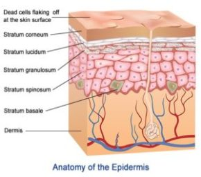 layers-of-epidermis-300x265